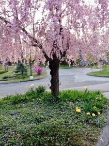 Weeping cherry at Unitarian Universalist Society East